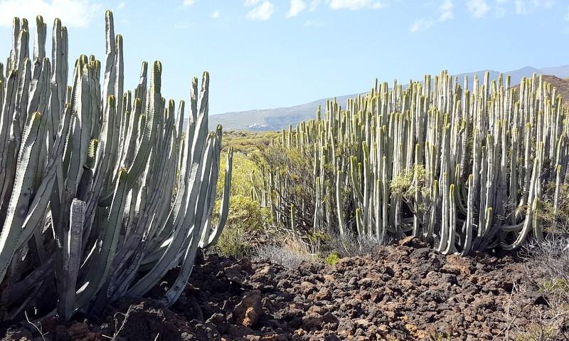 Cactussen in Malpais de Güimar