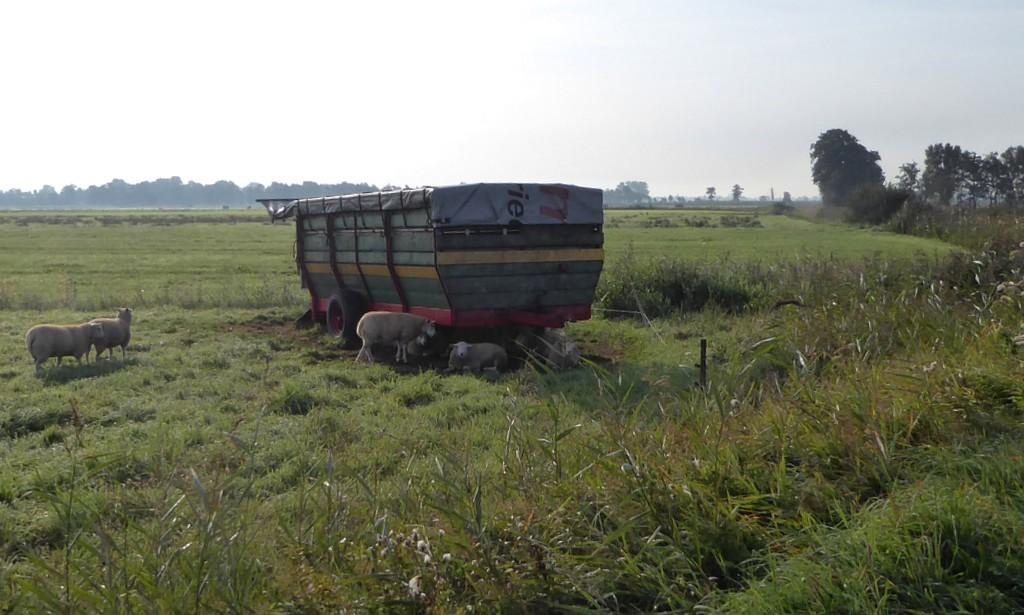 Friesland, De Friese Wouden. Schapen in de wei