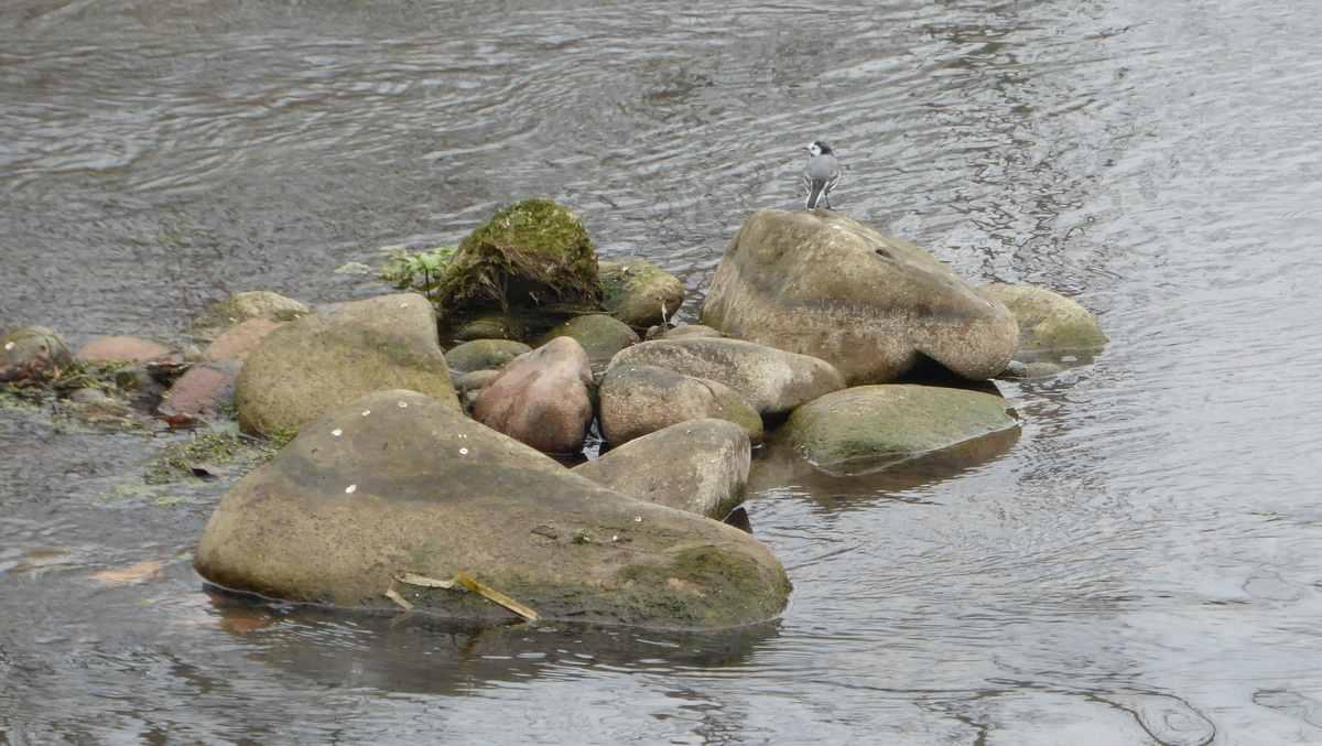 Rivier Ter, vogel op steen in de rivier