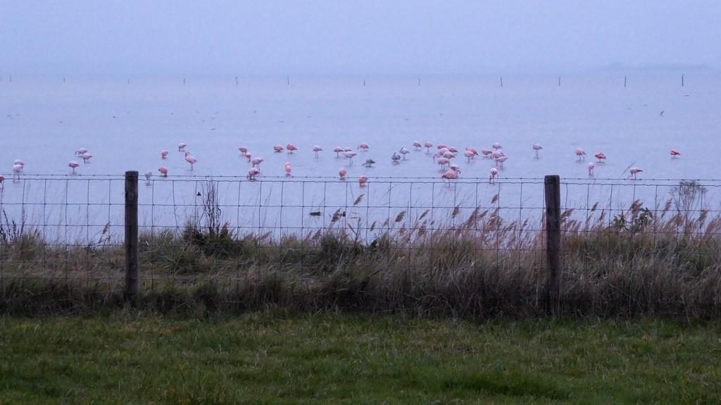 Flamingo's in Nederland - Grevelingenmeer