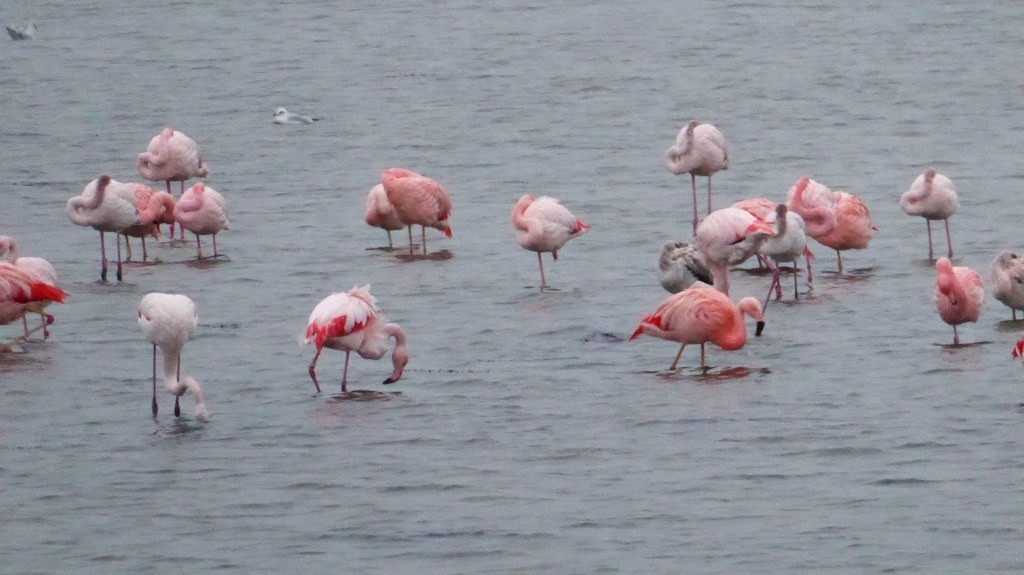 Flamingo's in Nederland - Grevelingenmeer - close