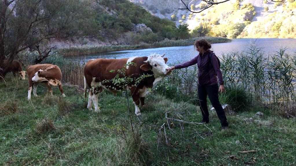 Het aaien van een koe, o nee, oeps, een stier.