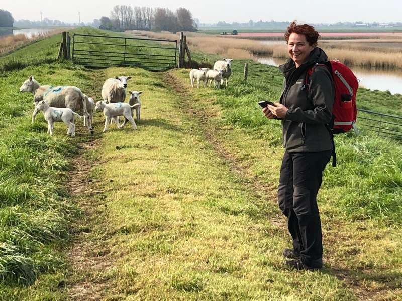 Wandelvrouw fotografeert schapen