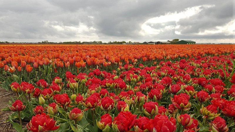 wandeltocht van Kleurrijk Julianadorp 2019 - rode tulpen
